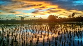 Sunset at rice fields royalty free stock images