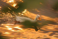 Sunset ride. White duck taking a ride at a lake in the reflection of evening sun Royalty Free Stock Photography