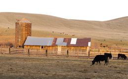 Sunset Rural Hills Cattle Ranch Farm Agriculture Barn Silo. A cow grazes along in front of the barn at sunset Stock Photos