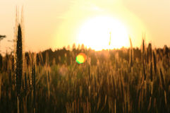 Sunset in the rye field Stock Photos