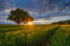 Sunset on rye field Stock Photos