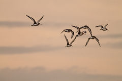 Sunset Sandpipers. Flying sandpiper birds at sunset time stock photo
