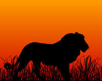 Sunset in savanna with lion Stock Images