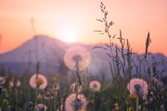 Sunset scene with dandelion flowers on alpine walley in Meduno,. Italy. Shot with lens flare Stock Photos