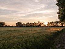 A sunset scene outside in a farm field of green crop and a golden hue and wonderful vibrant colours that are serene natural and p. Eacefully stunning royalty free stock photo