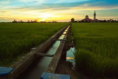 Sunset scene from the paddy field Royalty Free Stock Images