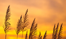 Sunset scenery. Grass with sunset scenery background Royalty Free Stock Photos
