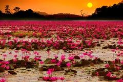 Sunset at Sea Lotus Royalty Free Stock Photography