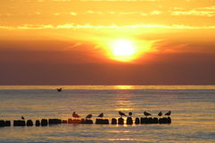 Sunset at the sea with seagulls. Seagulls resting on the wooden breakwater at Baltic Sea in Poland Royalty Free Stock Photo