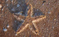 A sunset sea star on the beach. royalty free stock photography