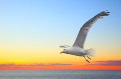 Sunset seascape with flying seagull Royalty Free Stock Photos