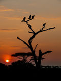 Sunset in the Serengeti Royalty Free Stock Photography