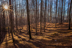 Sunset and shadows in the beeches wood. Cansiglio, Veneto, Italy; 2016 - 12 30: sunset and shadows in the beeches wood Stock Photography