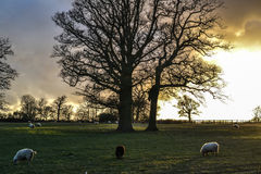 Sunset sheep Royalty Free Stock Images