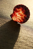 Sunset Shell Stock Photo