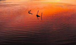 Stick floating down a lake in the sunset stock photos