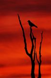 Sunset Silhouette. Crow, on bare tree, silhouette against red sunset Stock Images