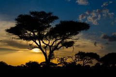 Sunset silhouette of acacia tree in Africa savannah. Sunset silhouette of african acacia trees in savanna bush. Wild safari scenic landscapes of Africa Royalty Free Stock Photography