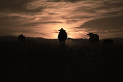 Sunset silhouette of a cow Stock Photos
