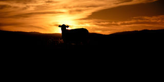Sunset silhouette of a cow Royalty Free Stock Photos