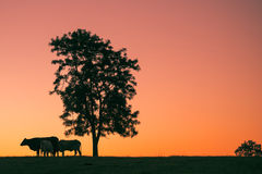Sunset silhouette of cows Stock Photography