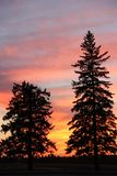 Sunset Silhouette Evergreens, Brandon, Manitoba Stock Images