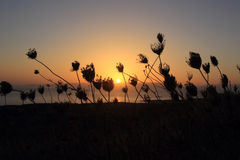 Sunset and silhouette of flowers Royalty Free Stock Image