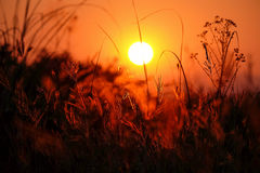 Sunset with silhouette of grass flower Royalty Free Stock Image