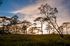 Sunset silhouette by pines. Royalty Free Stock Photography