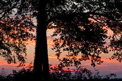 Sunset Silhouette. Tree silhouette at golden sunset Royalty Free Stock Photo