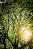 Sunset through Silhouette Under the shade of tall trees branch i Royalty Free Stock Photo