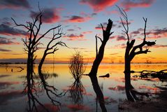 Old gnarly trees on the lake at sunset. Sunset and silhouettes of old gnarly dead trees in the lake with reflections Stock Image