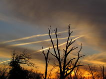Sunset Sky, 3 Bright Jet Trails and Trees Silhouette royalty free stock image