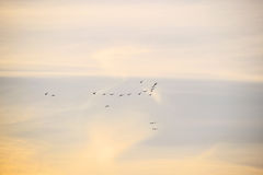 Sunset sky with flock of birds Royalty Free Stock Photography