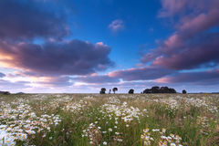 Sunset sky over chamomile field Stock Image