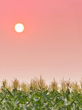 Sunset in sky over the corn field Stock Image