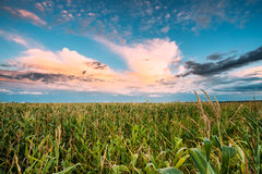 Sunset Sky Over Green Maize Corn Field Plantation In Summer Agri Stock Image