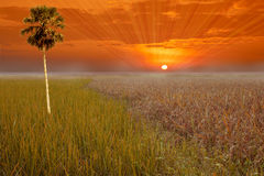 Sunset sky and a rice filed Royalty Free Stock Photo