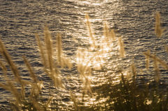 Sunset solar sparks on water through seashore grass Stock Images