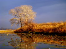 At sunset. Solitary Birch grows on the shores of Lake Royalty Free Stock Images