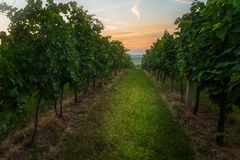 Vineyards in the Southern Moravia Royalty Free Stock Photography