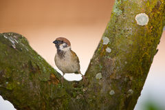 Sunset sparrow Royalty Free Stock Images