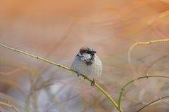 Sunset Sparrow stock photography