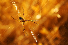 Sunset Spider Stock Photography