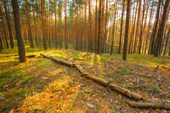 Sunset In Spring Forest Stock Photography