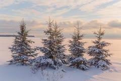 Sunset Spruce Stock Photos