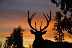 Sunset stag Stock Photography