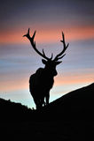 Sunset stag Royalty Free Stock Photography