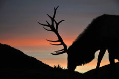 Sunset stag Stock Photos