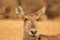 Sunset stare from Waterbuck mom - Africa Stock Images